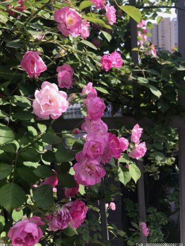 玫瑰的寓意是什么 不同颜色、朵数的玫瑰更有不同的含义